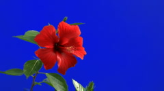 Red hibiscus flower (blue screen) Stock Footage