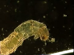 fly larva - stock footage