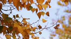 Yellow autumn poplar leafs on the tree sway on the wind - stock footage