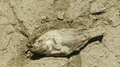 Parched Earth Dead Fish - stock footage