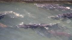 Stock Video Footage of salmon, hatchery