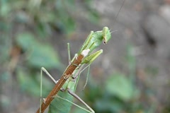 Mantis on a dry twig Stock Footage