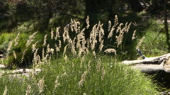 Tall Grass Blowing in the Wind Stock Footage
