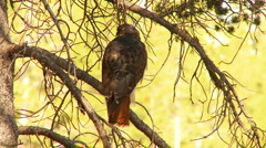 Red Tailed Hawk Stock Footage
