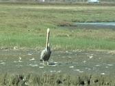 Pelican Stock Footage