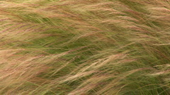 Wild grasses blowing in the breeze Stock Footage