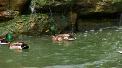 Ducks in water by rocks Stock Footage