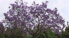 Jackaranda trees with purple flowers against blue sky Stock Footage