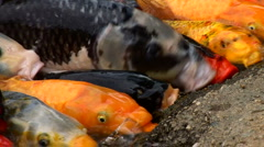 Koi  feeding in pond Stock Footage
