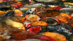 Multitude of Koi in pond - stock footage