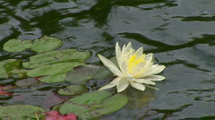 Lily pads in Koi pond Stock Footage
