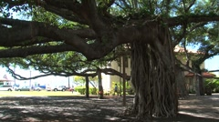 Banyan Tree in Courthouse Square. Maui, Hawaii Stock Footage