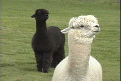Alpacas white & black Stock Footage