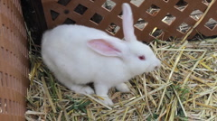 White Bunny Eating Hay Stock Footage