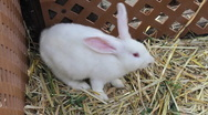 Stock Video Footage of White Bunny Eating Hay