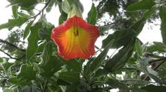 Ecuador tropical flower Stock Footage