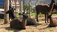 Ecuador llamas in a market  Stock Footage