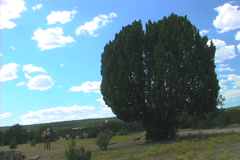 Cow and juniper pine tree Stock Footage