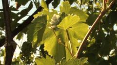 Grape leaves Stock Footage