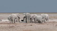 Elephant pushs other elephant Stock Footage