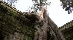 Jungle tree with giant roots growing around a temple wall Stock Footage