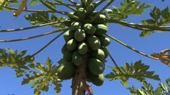 Zooms to closeup of papayas on tree Stock Footage
