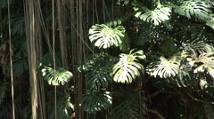 Cut leaf philodendron Monstera - stock footage