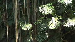 Monstera leaves in a rainforest - stock footage
