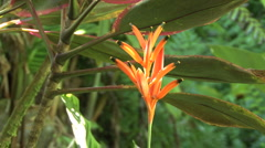 Parrot's Beak Heliconia and leaves  Stock Footage