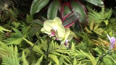 Phalaenopsis cream orchid   Stock Footage