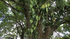 A philodendron vine hangs from a tree  - stock footage