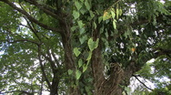 Stock Video Footage of A philodendron vine hangs from a tree
