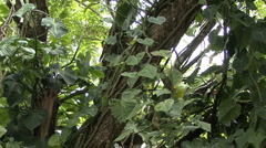 Philodendrons on a jungle tree  - stock footage