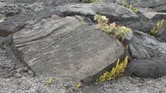 Hawaii Plants and lava chunks Kilauea  Stock Footage