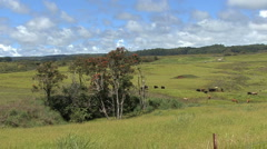 Hawaii Rural landscape cows in pasture Stock Footage