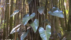 Tilts up philodendrons on a tree - stock footage