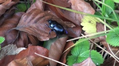 beetle crawling over the leaves in the forest. Stock Footage