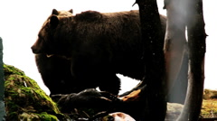 grizzley bears stands  Stock Footage
