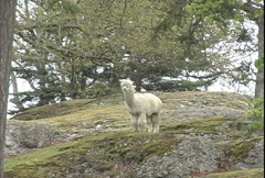 Alpaca on hill Stock Footage