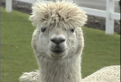 Alpaca with top knot Stock Footage