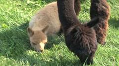 Alpaca eating grass Stock Footage