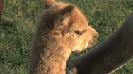 Stock Video Footage of Little Alpaca