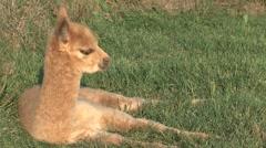 Little Alpaca Stock Footage
