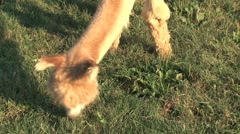 Alpacas eating grass Stock Footage