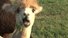 Little Alpaca eating grass Stock Footage
