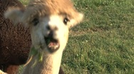 Stock Video Footage of Little Alpaca eating grass
