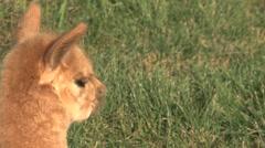 Young Alpaca Stock Footage