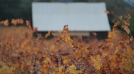 Colorful Vineyard and Old Barn 0970 Stock Footage