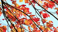 Stock Video Footage of Colorful Red and Orange Autumn Foliage
