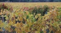 Fall Vineyards Driveby HD Footage